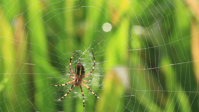 vidéos et rushes de wasp spider (argiope bruennichi) spinning web - toile d'araignée