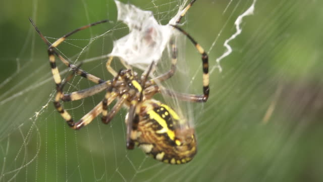 wasp spider wrapping prey - trapped stock videos & royalty-free footage