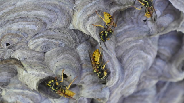 Wasp with much building material