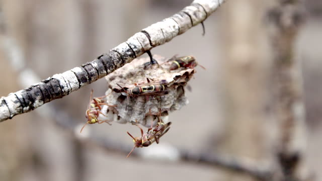 wasps building nest on branch - animal attribute stock videos and b-roll footage