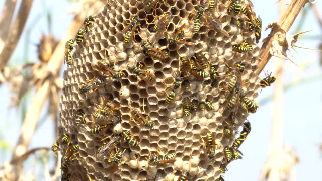 wasps hive in a dry thistle behind the hive many wasps protected from sun - larva stock videos & royalty-free footage