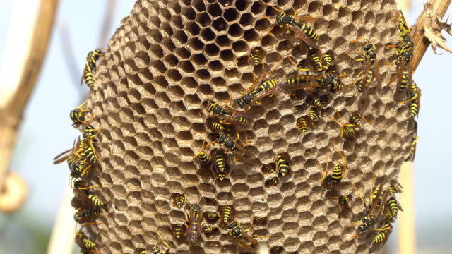 wasps hive in a dry thistle, larvas inside the cells - larva stock videos & royalty-free footage