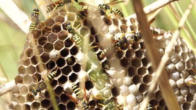 wasps hive in the grass - larva stock videos & royalty-free footage