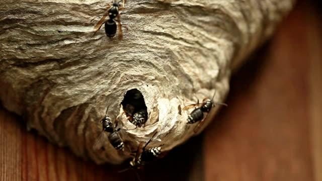 wasps swarming