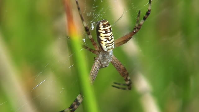 waspspider on orb web - arachnophobia stock videos and b-roll footage