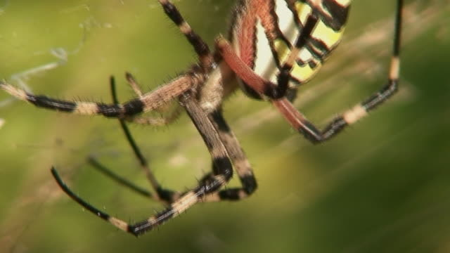 waspspider - arachnophobia stock videos and b-roll footage