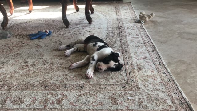 watch and laugh as patient ellie puts up with her little seven week old buddy mikey biting her lips and ears and climbing all over her too funny - week stock videos & royalty-free footage