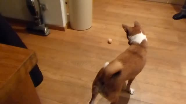 watch as this adorable basenji tries desperately to figure out a hardboiled egg do you think he'll eventually put his trust in it - hard boiled egg stock videos & royalty-free footage