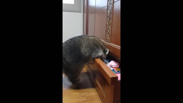 watch as this pet raccoon decides to take a browse through the dresser drawers. do you know anyone who's owned a pet raccoon? - drawer stock videos & royalty-free footage