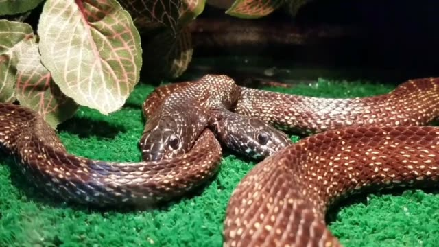 vídeos y material grabado en eventos de stock de watch this short clip of one of nature's rarities - a two headed snake! these rare animals if found have a very high mortality rate and often need... - jugoso