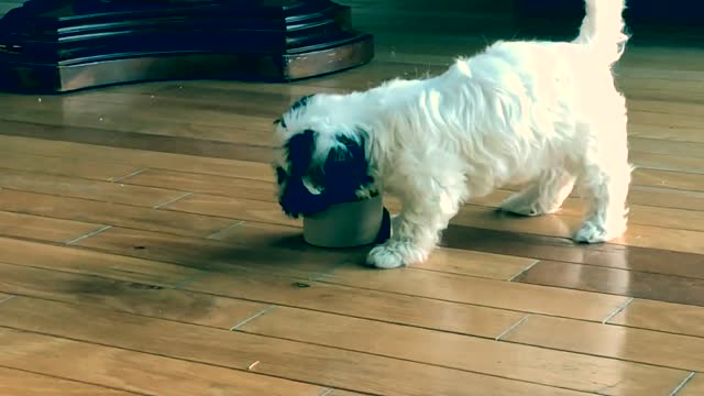 """watch this """"vicious"""" havanese puppy attack an innocent tape roll. cuteness overload! - jungtier stock-videos und b-roll-filmmaterial"""