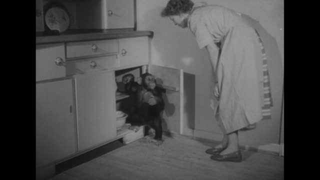 watched by a siamese cat a chimpanzee opens a cabinet door and starts to eat from a jar of jelly as a women catches the chimp in the act and carries... - hausfrau stock-videos und b-roll-filmmaterial