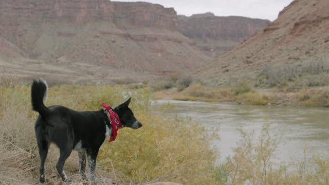 vidéos et rushes de watchful dog stands on the banks of the colorado river and sniffs around at camp site. - curiosité