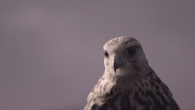 C/U watchful falcon
