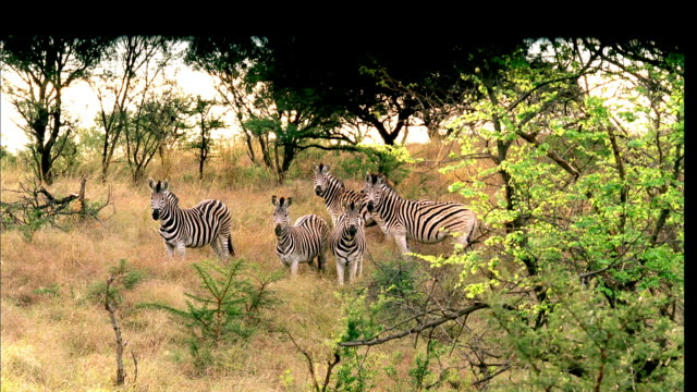POV Watching a herd of zebras grazing in the high veld from beneath the cover of a hide, and circling the herd without the zebras noticing