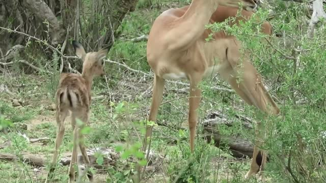 """""""watching any form of life being born into this world is a miracle experience. during a recent safari in the kruger national park, i had the rare and... - take that stock videos & royalty-free footage"""