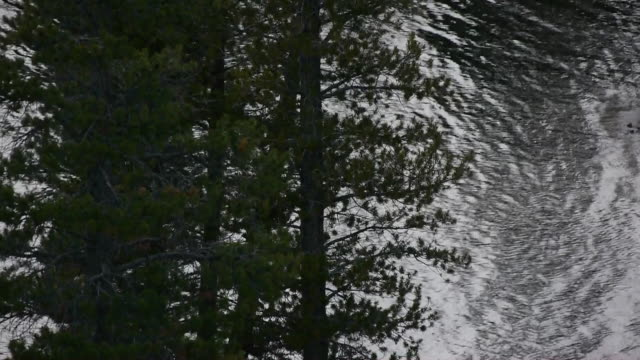 vídeos de stock, filmes e b-roll de water abstract, silhouette of pine trees with glistening, flowing river behind, tuolumne river, yosemite national park, california - pinaceae