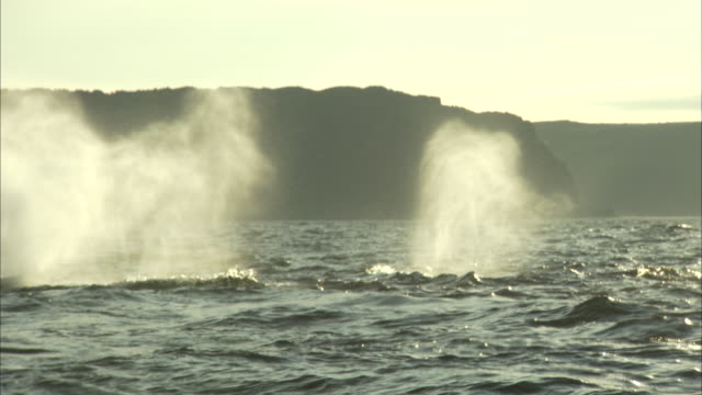 water and mist blow from a pod of whales. - pod of whales stock videos & royalty-free footage