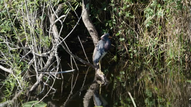 water bird anhinga cleaning feather - water bird stock videos & royalty-free footage