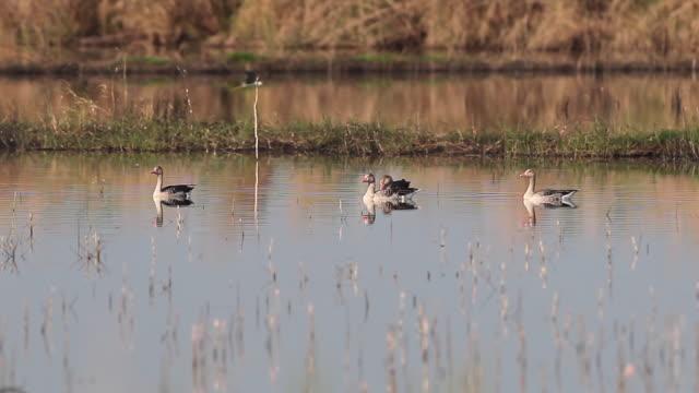 water bird : flock of greylag goose (anser anser) - water bird stock videos & royalty-free footage