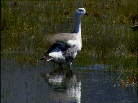 water bird foraging in reeds in lake. patagonia chile. - foraging stock videos and b-roll footage