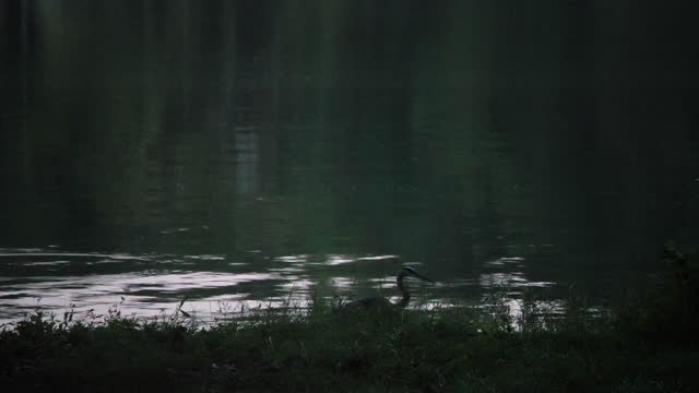 water bird hunting fish in the morning. - bird hunting stock videos & royalty-free footage