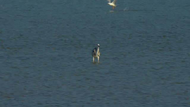 water bird standing in shallow water - water bird stock videos & royalty-free footage