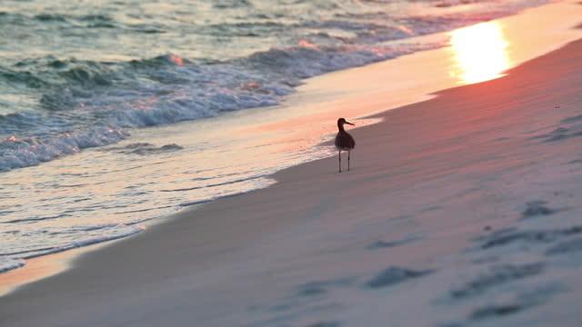water bird walking on beach at sunset - water bird stock videos & royalty-free footage