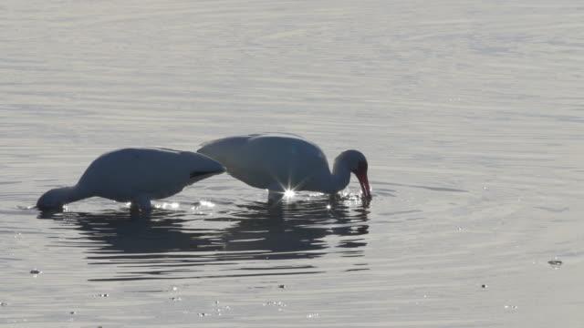 water birds eating fish in swamp - 猛禽点の映像素材/bロール
