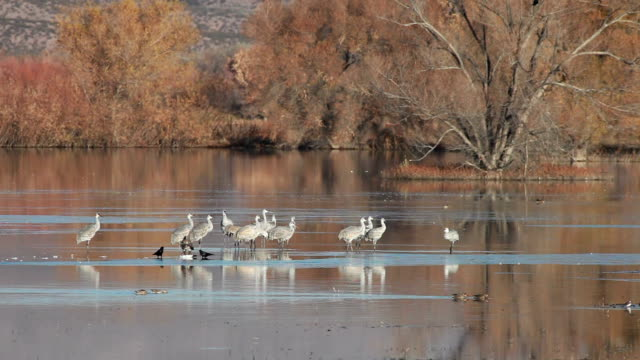 ws water birds floating and standing in marsh area / bosque del apache, new mexico, usa - bosque del apache national wildlife reserve stock videos & royalty-free footage