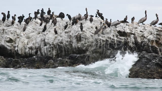 ws water birds perching on rock by sea, laguna beach, california, usa - laguna beach california stock videos & royalty-free footage