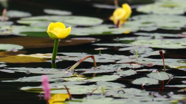 water bistort and yellow water lilly on lake windermere, lake district, uk. - aquatic organism stock videos & royalty-free footage