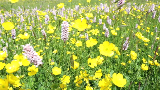 water bistort, buttercups, clover and other wild flowers growing in a species rich traditional hay meadow in windermere, lakje district, uk. over 90% of hay meadows have been lost in the uk, due to farmers turning to silage rather than hay production. most - wildflower stock videos & royalty-free footage