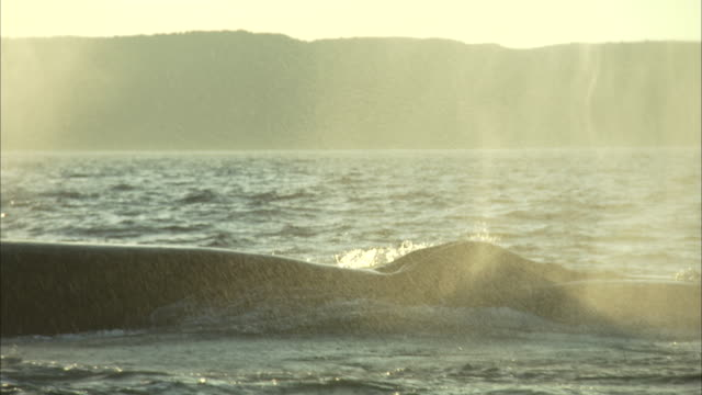 water blows from a surfacing whale off the coast of newfoundland. - cetacea video stock e b–roll