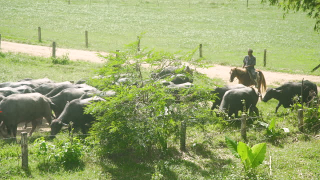 water buffalo cattle arriving in line at ranch with the cowboy. ubay dairy farm, bohol, philippines - water buffalo stock videos & royalty-free footage