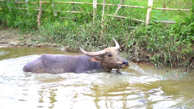 vídeos de stock, filmes e b-roll de búfalo de água, limpeza de si mesmo - young animal
