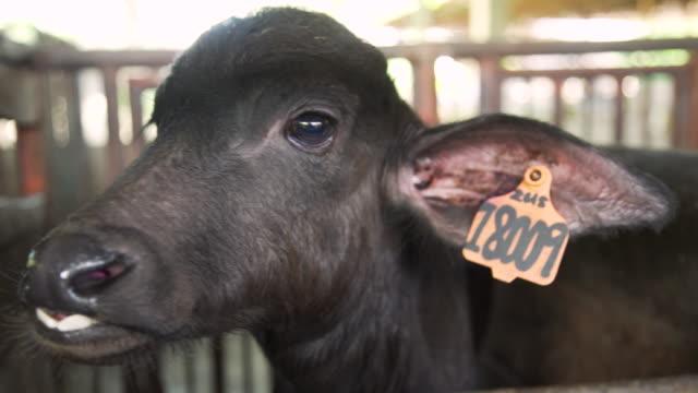 vídeos de stock, filmes e b-roll de water buffalo close-up at stable looking at camera. ubay dairy farm, bohol, philippines - ranch