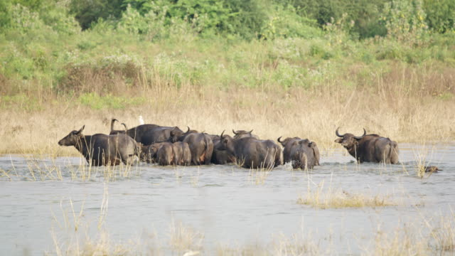 ms water buffalo crossing river,sri lanka - cattle stock videos & royalty-free footage