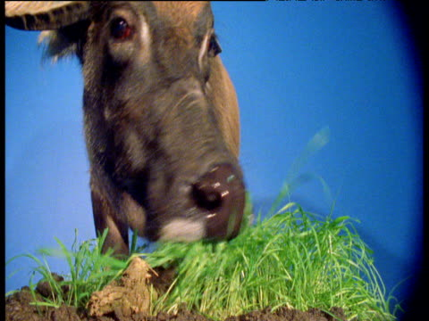 water buffalo eats grass against blue screen - chroma key stock videos & royalty-free footage