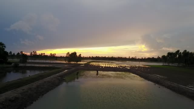 water buffalo feeds in a rice field in sunderbans, india during sunset - westbengalen stock-videos und b-roll-filmmaterial