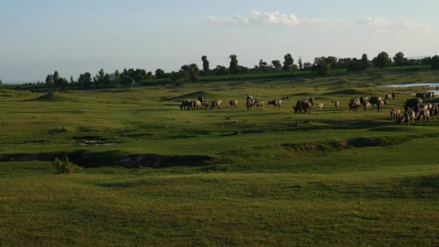 water buffalo graze in pastures. - pascolare video stock e b–roll