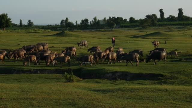 Water Buffalo graze in pastures.