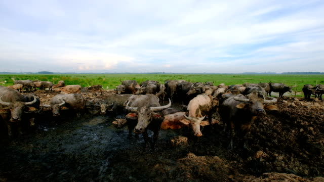 Water Buffalo graze in pastures.
