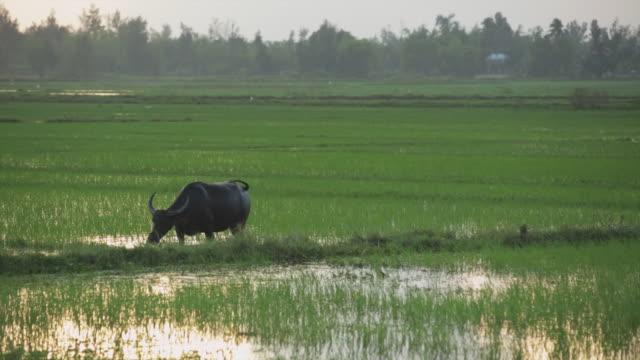 WS Water buffalo grazing in a rice paddy, Vietnam.