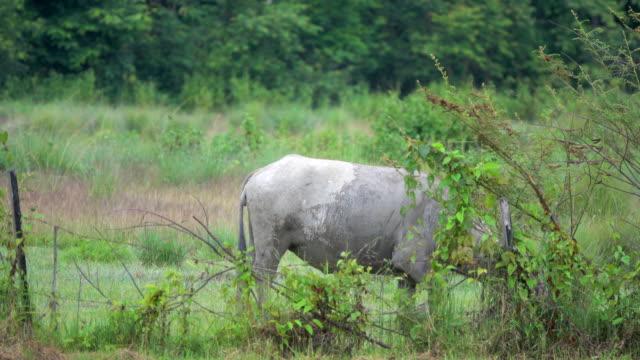 4k vattenbuffel i risfält i thailand - djurbeteende bildbanksvideor och videomaterial från bakom kulisserna