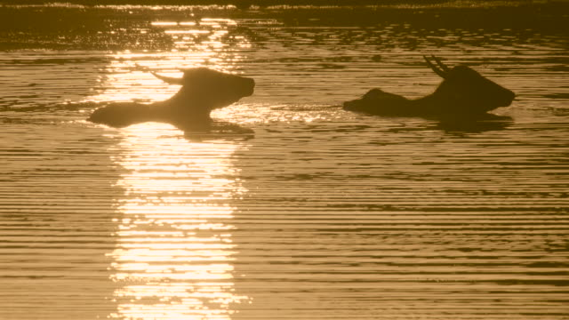 water buffalo in water, sri lanka. - orange colour stock videos & royalty-free footage
