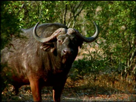 water buffalo standing near bushes, turns to stare at camera, botswana - wirbeltier stock-videos und b-roll-filmmaterial