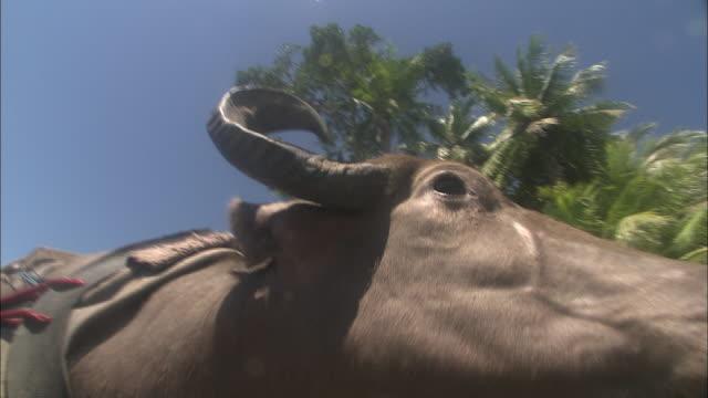 a water buffalo strains as it pulls against its yoke. - water buffalo stock videos & royalty-free footage