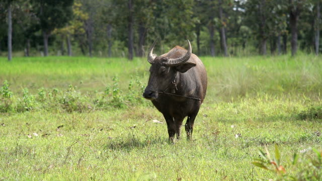 water buffalo - water buffalo stock videos & royalty-free footage