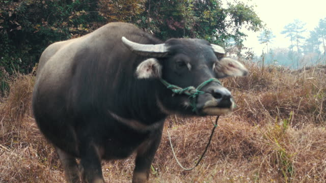 water buffalo - wild cattle stock videos & royalty-free footage